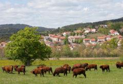 Gîte  - Le troupeau - troupeau à sinzelles Brouillis