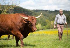 Gîte  - Le troupeau - Franck et un taureau