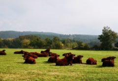 Gîte  - Le troupeau - sieste des genisses