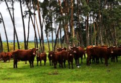 Gîte  - Le troupeau - vaches au Bois malade